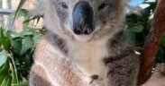 Nifty the Koala