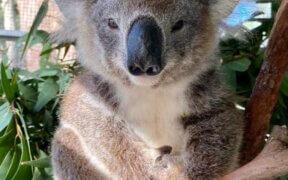 Nifty the Koala